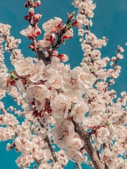 Abricots fleuris au printemps. fond de nature.