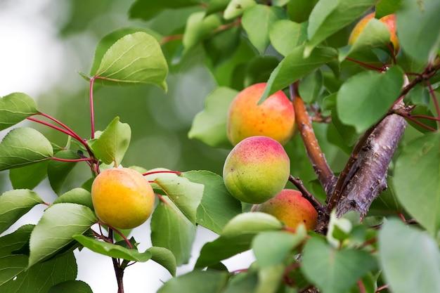 Abricots juteux mûrs sur l'arbre. verger_