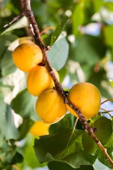 Abricots mûrs à l'ombre d'un arbre