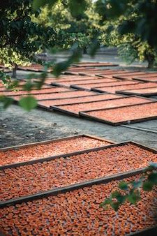 Abricots sur plusieurs plateaux à l'extérieur