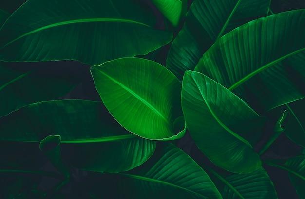 Abstrait feuille de bananier texture feuille tropicale feuillage nature fond vert foncé