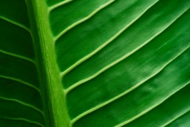 Abstrait de feuilles de veines dans la nature avec la lumière du soleil. toile de fond de la nature.