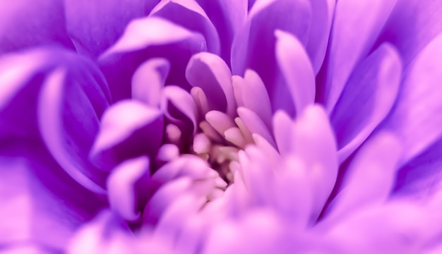 Abstrait floral fond violet fleur de chrysanthème macro fleurs toile de fond pour la marque de vacances