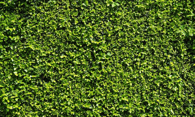 Abstrait naturel de mur de feuille verte