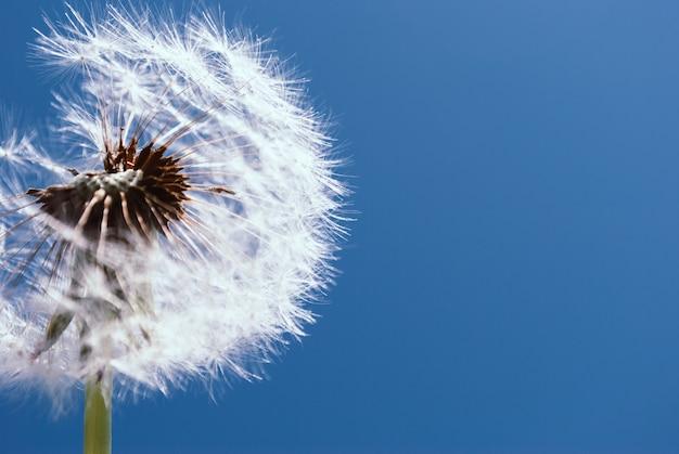 Abstrait pissenlit. ciel bleu. gros plan pissenlit tran