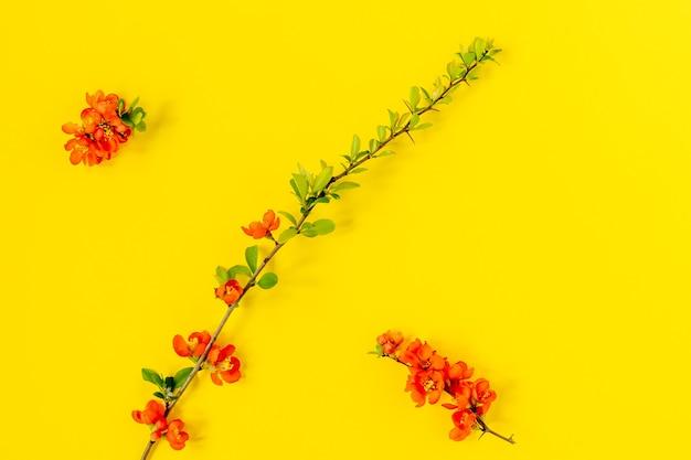 Abstrait de printemps. branche de coing japonais en fleurs sur fond jaune. chaenomeles japonica. mise à plat, vue de dessus. composition de fleurs de printemps.