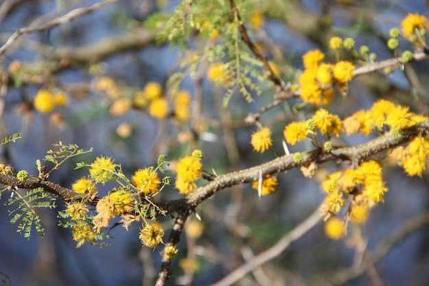 Acacia en fleur