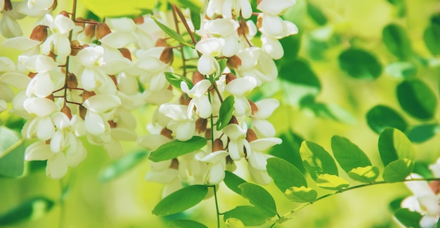 Acacia fleurit. la nature. mise au point sélective.faune et flore.