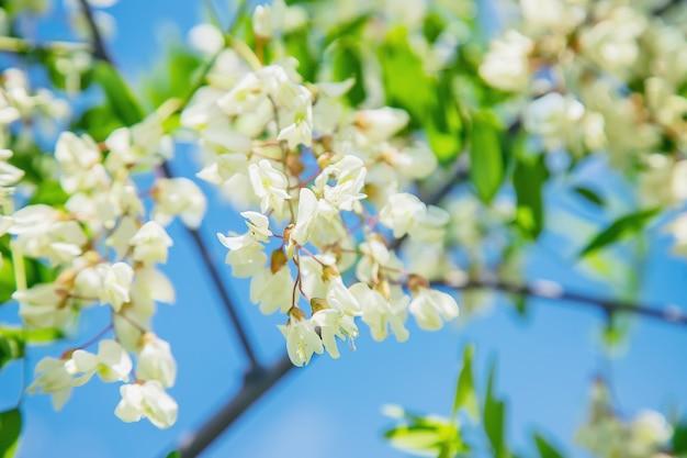 Acacia en fleurs dans le jardin. mise au point sélective.
