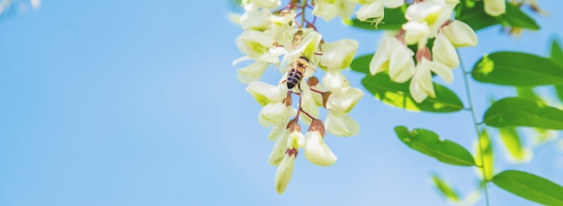 Acacia en fleurs dans le jardin.