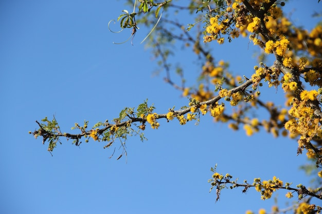Acacia jaune en fleur