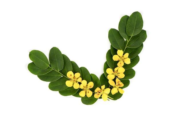 Acapulo ou senna alata fleurs et feuilles vertes isolées sur une surface blanche.vue de dessus, mise à plat.