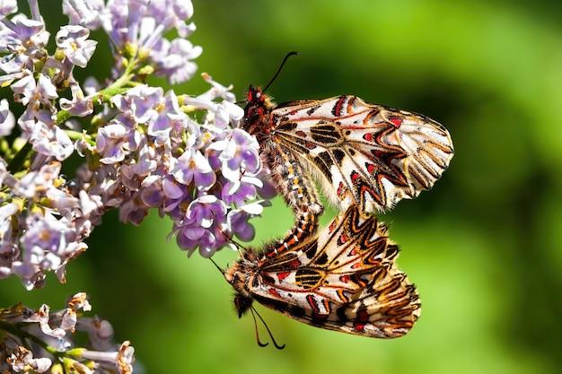 Accouplement de deux festons du sud sur une fleur violette dans la nature de l'été