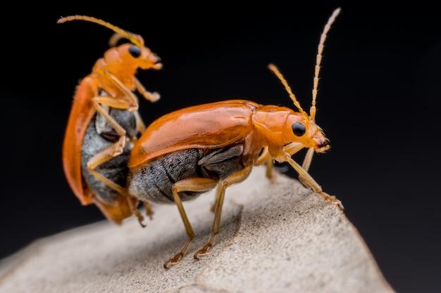 Accouplement du scarabée du concombre ou de la cucurbitacées sur une feuille séchée
