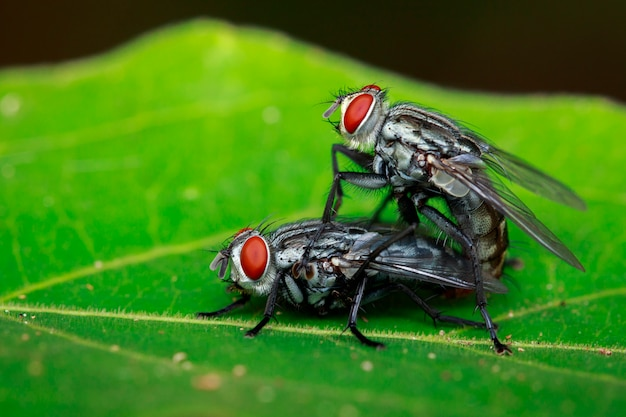 Accouplement de mouches sur une feuille verte