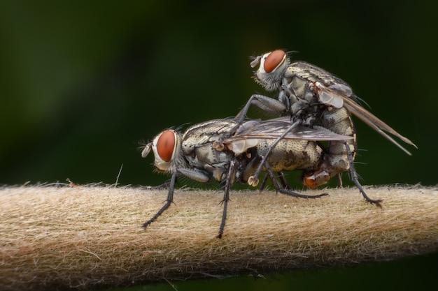 Accouplement de super mouches domestiques