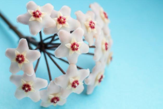 Accueil fleur hoya carnosa faible profondeur de champ