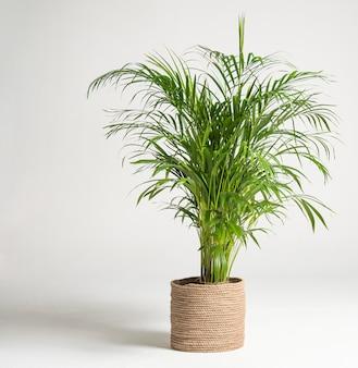 Accueil plante palmier howea forsteriana arbre dans un pot de jute sur fond blanc. loisirs pandémiques et jardinage urbain. espace de copie
