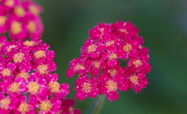 Achillea glaberrima plante vivace rouge