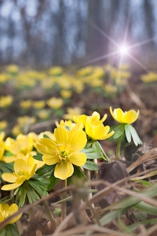 Aconites jaunes dans la forêt de printemps