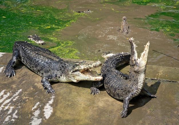 Action de crocodile à la ferme.