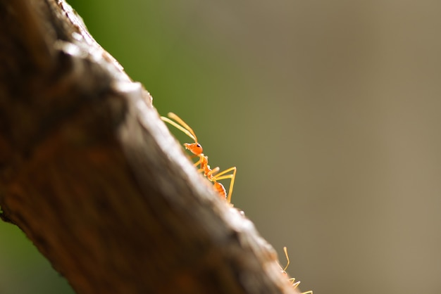 Action de fourmi debout sur une branche d'arbre. gros feu fourmi marche macro tir insecte dans la fourmi rouge de nature.