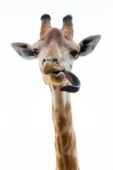 L'action de la girafe est la langue sur blanc