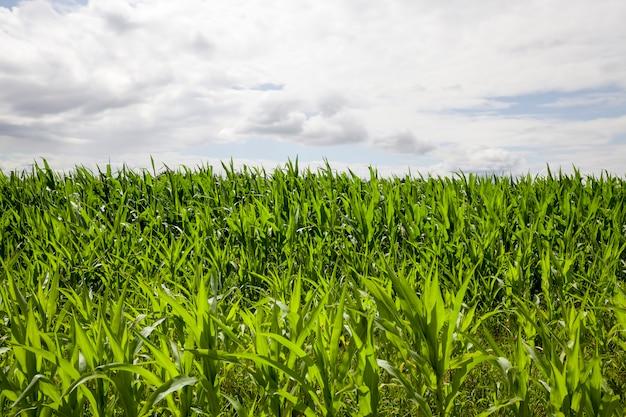Activité agricole liée à la culture du maïs sucré