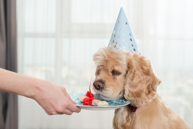 Adorable animal cocker spaniel allongé sur un pouf ottaman avec une assiette et un délicieux os recouvert d'un ruban rouge, dans un chapeau de cône de fête à la maison, un chien qui sort la langue pour le présent