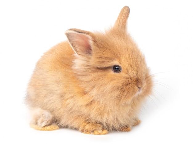 Adorable bébé lapins rouge-brun isolé