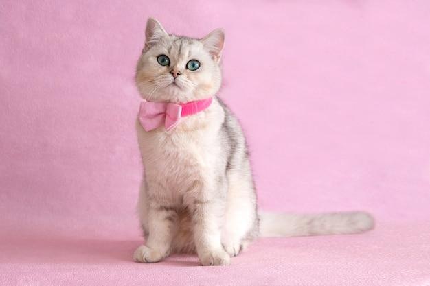 Adorable chat britannique blanc aux yeux bleus portant chemise et noeud papillon