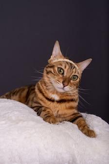 Adorable chat domestique du bengale incline la tête d'un côté et regarde la caméra
