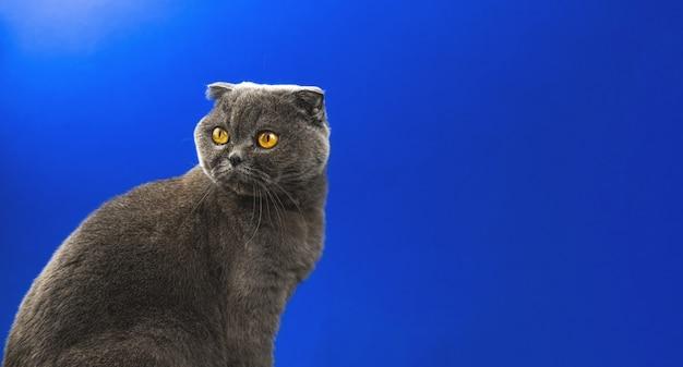 Adorable chat écossais plié, portrait en studio d'animaux avec espace de copie, place pour votre texte, photo d'arrière-plan bleu