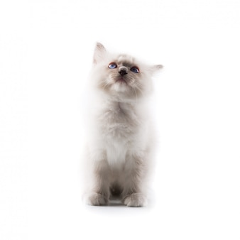 Adorable chat sur fond blanc isolé