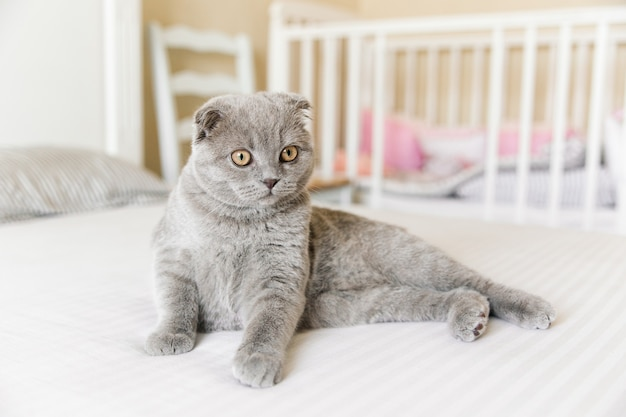 Adorable chat gris scottish fold sur le