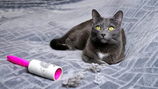 Un adorable chat noir se trouve près des cheveux froissés et du rouleau d'élimination des peluches sale, remuant la queue sur un plaid gris doux sur un grand lit dans une pièce lumineuse, vue rapprochée.