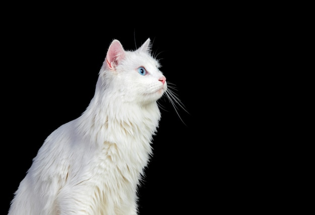 Adorable chat persan blanc