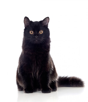 Adorable chat persan noir