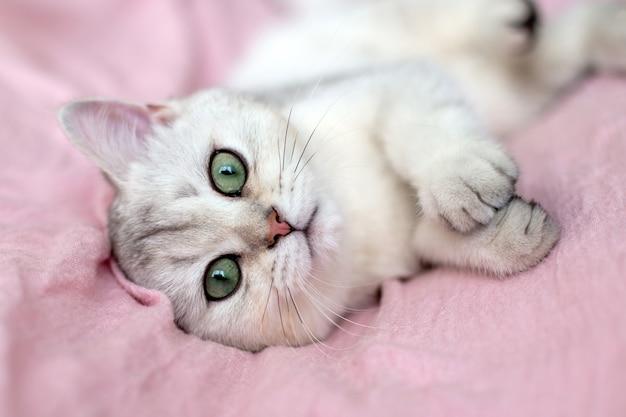 Un adorable chaton britannique blanc aux yeux bleus se trouve sur le dos sur un textile rose