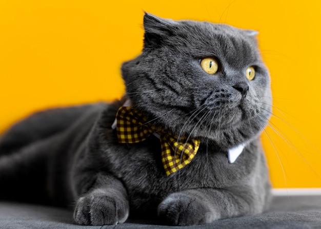 Adorable chaton british shorthair avec mur monochrome derrière elle