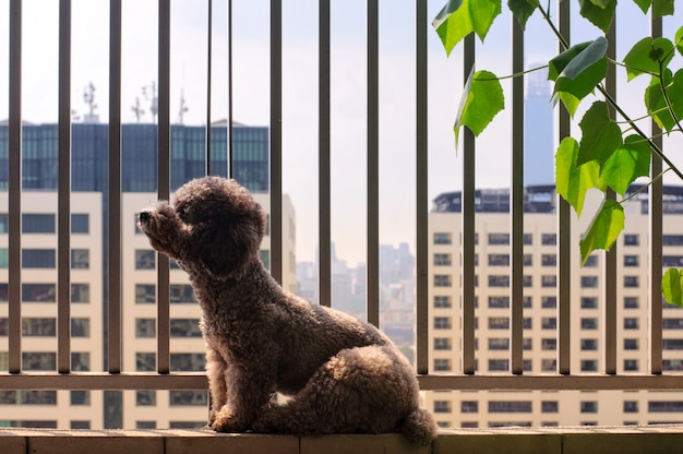 Un adorable chien caniche se détend et profite de la lumière du soleil du matin sur son balcon.