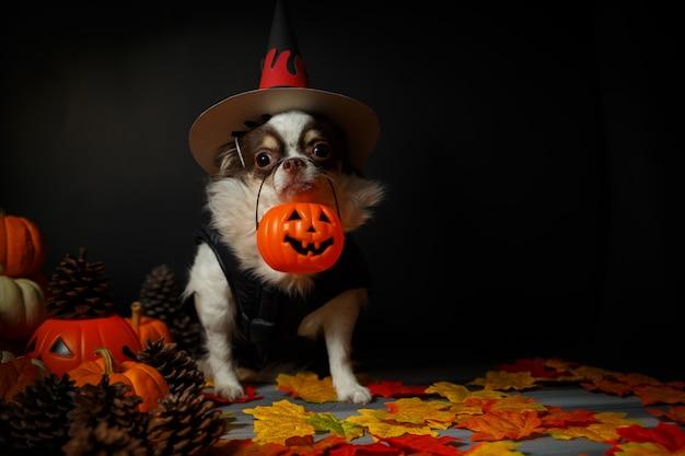 Adorable chien chihuahua coiffé d'un chapeau de sorcière d'halloween et tenant une citrouille dans l'obscurité.