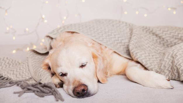 Adorable chien golden retriever dormant sous un plaid de style scandinave en laine gris clair