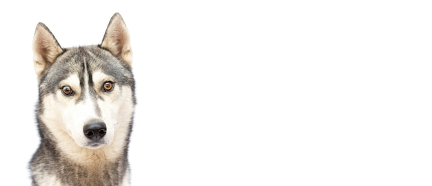 Adorable chien husky a over white background banner copy space
