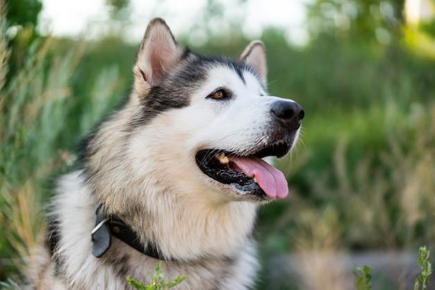 Adorable chien husky avec portrait tonque dans l'herbe dans le champ avec arrière-plan flou belle ...