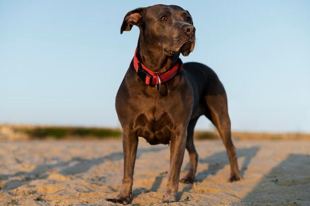 Adorable chien pitbull à la plage