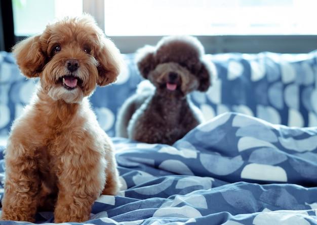 Un adorable chien poodle heureux marron et noir souriant et assis sur un lit en désordre