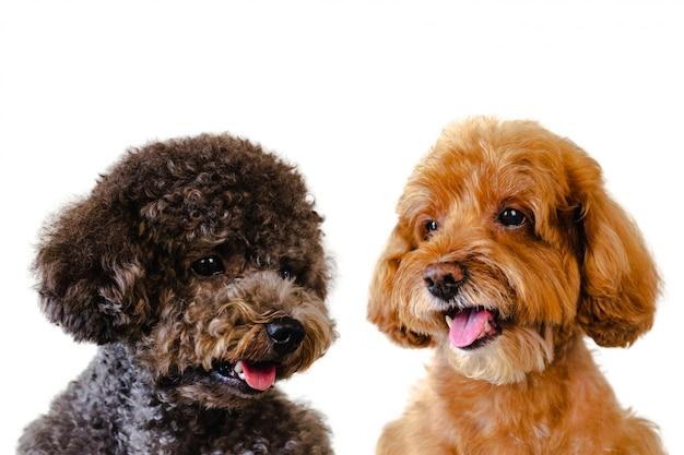 Adorable chien souriant de jouet de caniche brun et noir sur fond blanc.