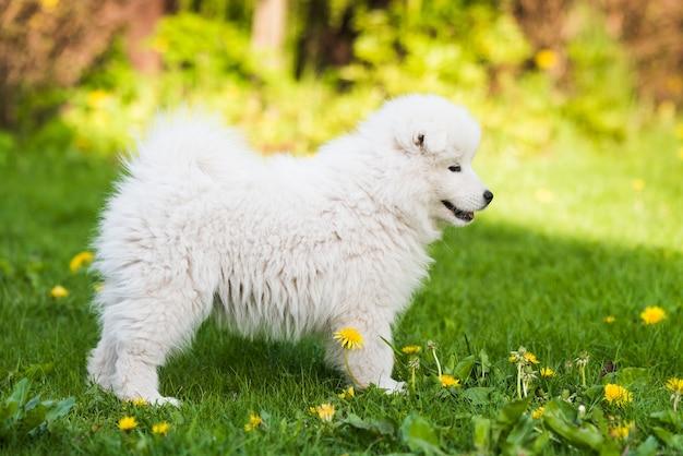 Adorable chiot samoyède jouer sur la pelouse