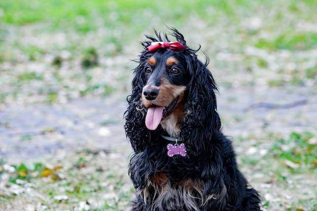 Adorable cocker spaniel noir à l'extérieur portant un collier avec un os rose